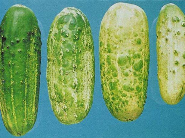 Огірки пожовкли раніше терміну або гірчать - в чому причина?
