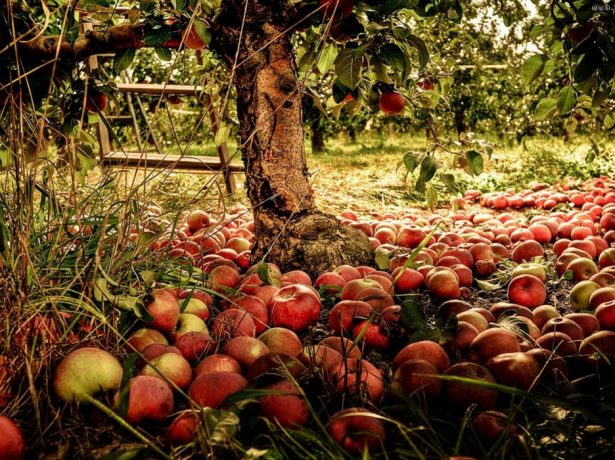 Чому опадають недозрілі яблука і як з цим боротися