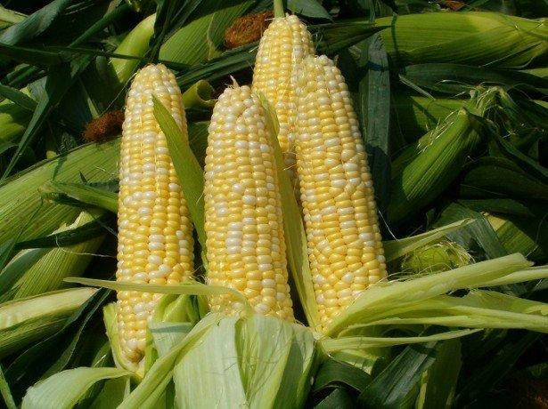 Особливості вирощування цукрової кукурудзи на своїй ділянці