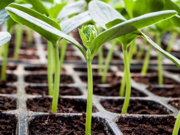 Як уникнути витягування розсади огірків