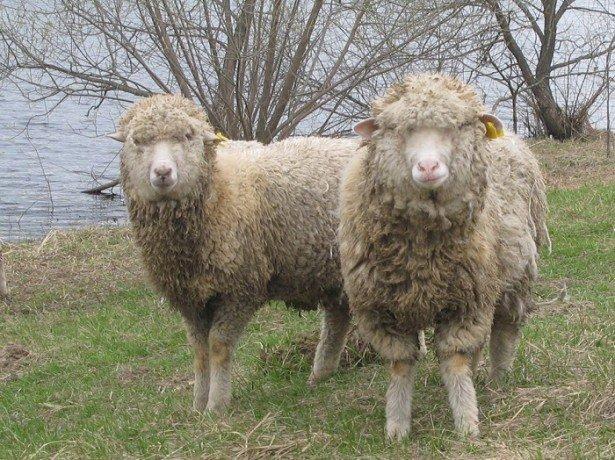 Мериноси-порода овець з теплою і красивою шерстю