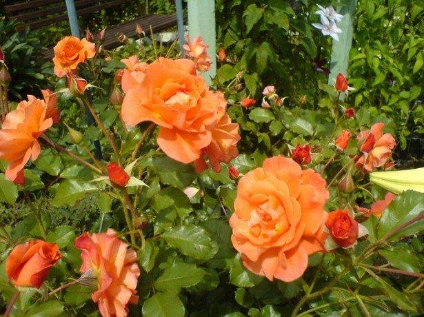 Пересадка троянд на нове місце - що потрібно врахувати, щоб пересаджені троянди прижилися?