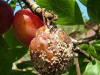 Слива медова біла: вирощуємо соковитий мед на гілках