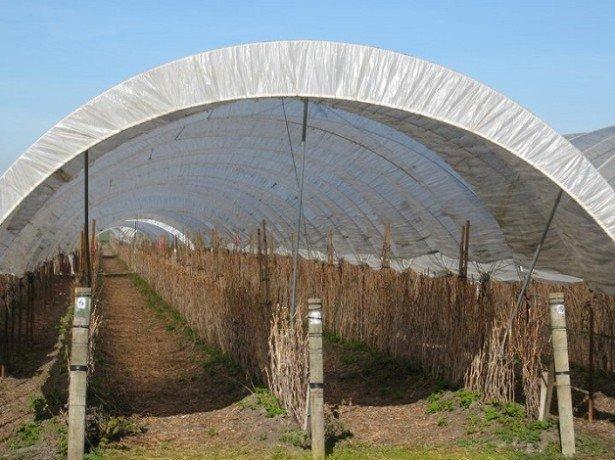 Як підготувати малину до зими, щоб отримати вже влітку пристойний приріст врожаїв