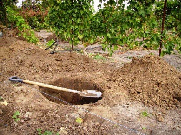 Посадка груші восени-головні особливості цього процесу