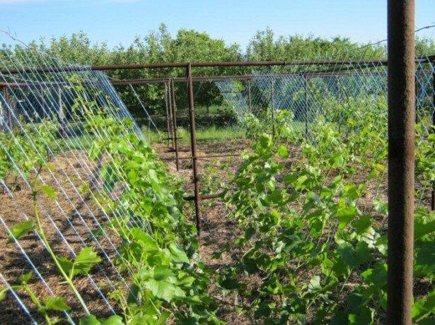 Решітка для винограду або як краще підвязати лозу?
