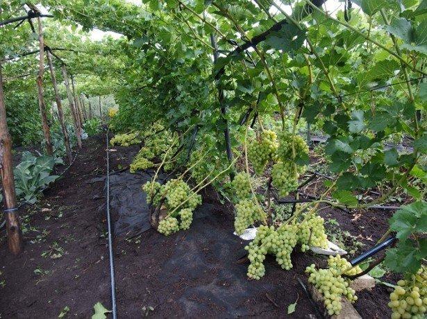 Полив винограду влітку — як це робити правильно?