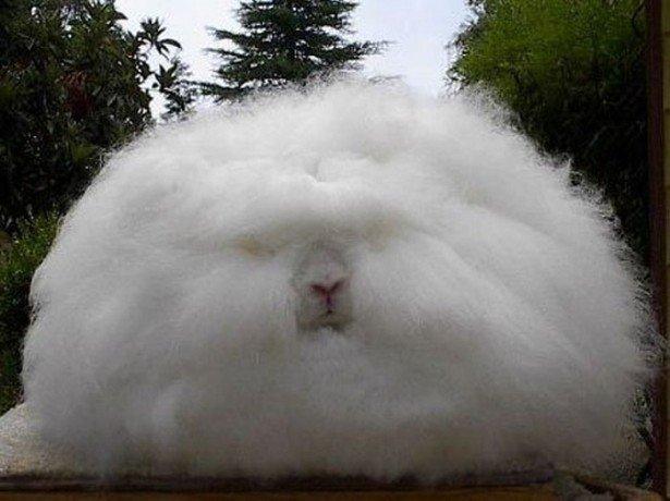 Чим привернув увагу тваринників білий кролик і його основні конкуренти