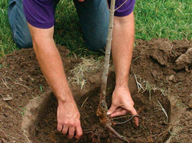 Буряк кормовий, вирощений своїми руками — - що потрібно врахувати