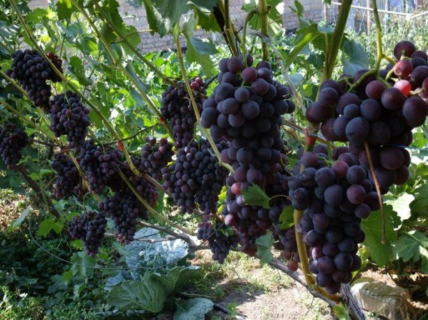 Вирощуємо саджанці винограду з розумом, економимо час і гроші