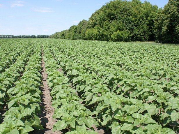 Посів соняшнику-оптимальні терміни, норма висіву, глибина загортання насіння і способи посадки