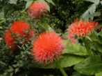 Гемантус: як виростити криваву квітку