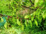 Особливості вирощування сливи персикової