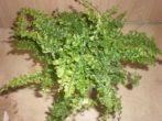 Кабачок і цукіні-ботанічні та кулінарні відмінності