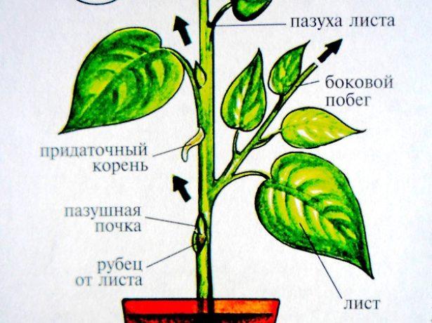 Пр. Щитовкажелтие або бурі комахи присмоктуються до поверхні листа, зверху вони закриті восковим нальотом, ніби щитом. Шкідник швидко розмножується, якщо повітря в кімнаті сухе, рослина ослаблене або перегодоване. Здорові рослини щитівок не приваблюють. Корисні відгуки про вирощування нефролепіса