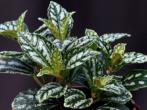 Малина таруса: малинове дерево у вашому саду