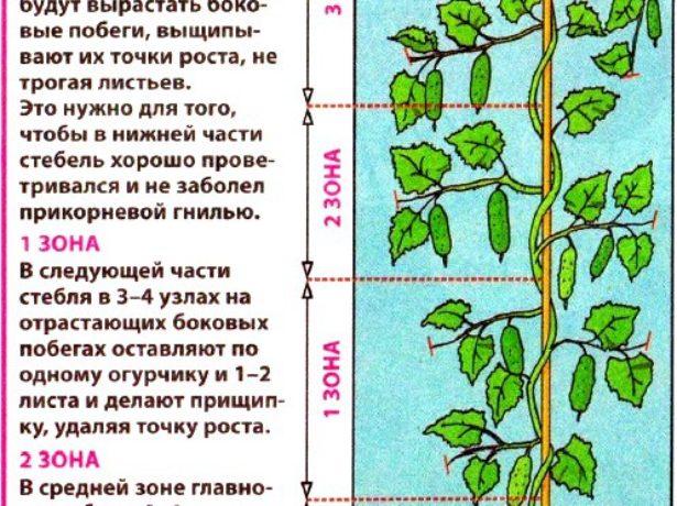 Як правильно прищипувати огірки