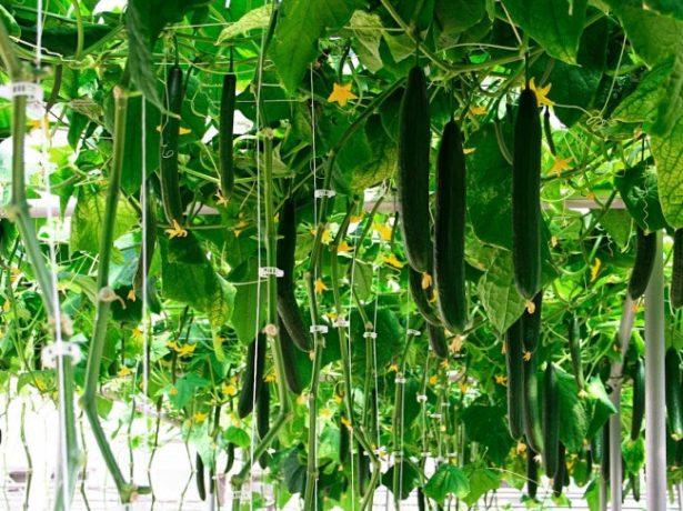 Що робити, якщо жовтіють листя у герані: догляд і профілактика хвороб