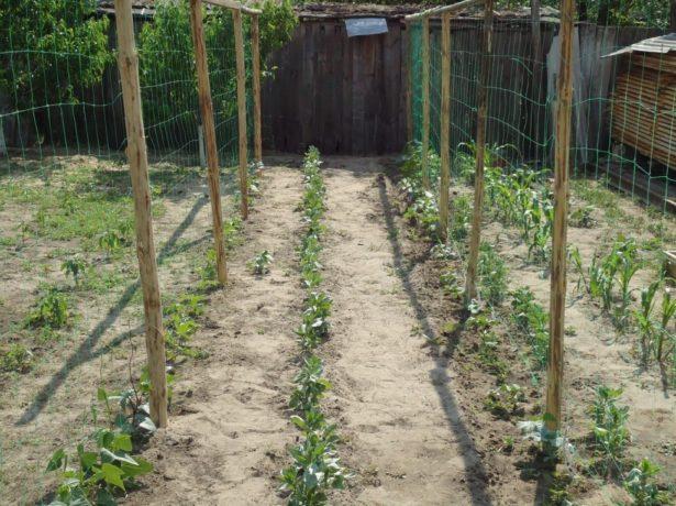 Все про вирощування огірків на шпалері