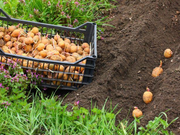 Як вирощувати картоплю сорту пікассо