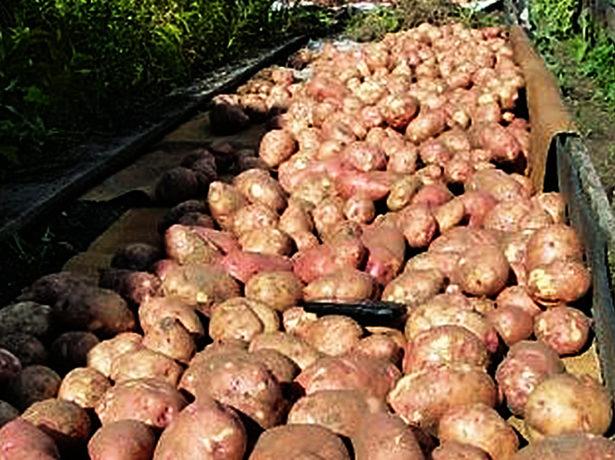 Картопля сорту лапоть: коли назва відповідає опису