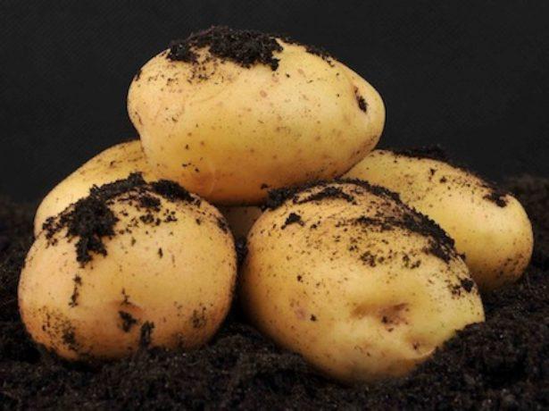 Кращі сорти картоплі для сибіру: робимо правильний вибір