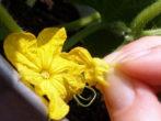Як вирощувати смачні огірочки взимку в домашніх умовах