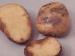 Як розпізнати хвороби картоплі і боротися з ними?