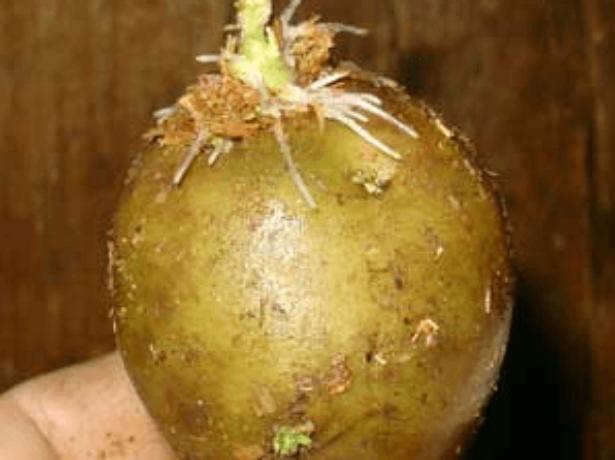 Пророщування картоплі перед посадкою-запорука врожаю