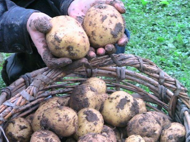 Картопля венета-ідеальний сорт