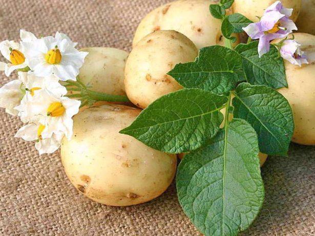 Славиться своєю картоплею, в цьому регіоні дуже сприятливі кліматичні умови і склад грунтів для вирощування картоплі. Сорт коломбо вважається дуже раннім, тому що після посадки вже на 45-й день його можна викопувати, причому, він досить врожайний і до того ж стійкий до нематоди і фітофторозу. Про смакові якості теж відгуки досить непогані. І зберігається він довго. Artmax Http://www.bolshoyvopros.ru/questions/1448962-sort-kartofelja-kolomba-dlja-kakogo-regiona-podhodit-rannij.html Картофель ред скарлетт — фаворит среди ранних сортов