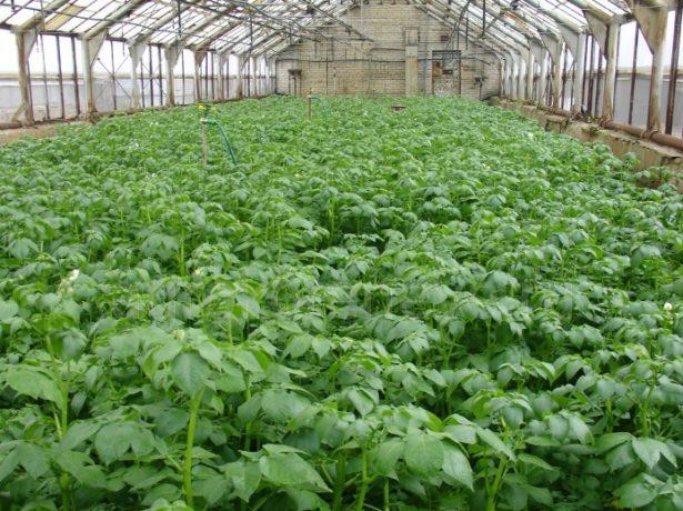 Кращі сорти картоплі для північно-західного регіону і ленінградської області
