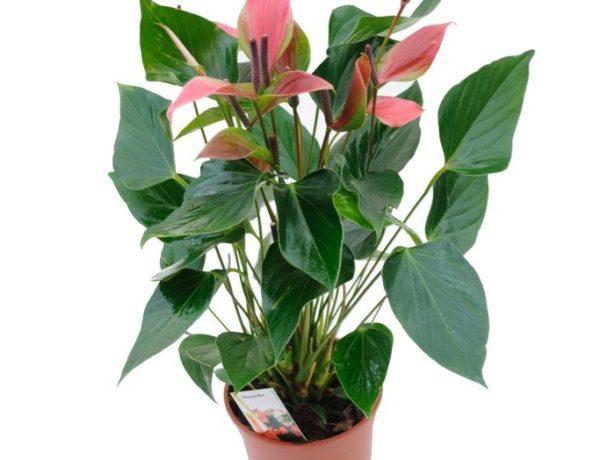 Кореневища: від цього залежить надалі стан вашого рослини