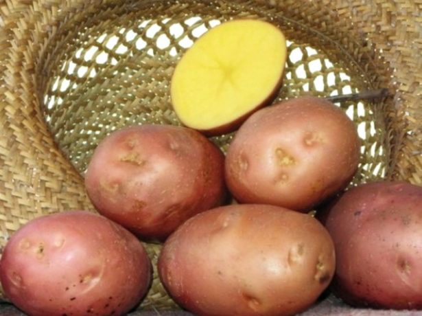 Картопля беллароза-смачний сорт з німеччини