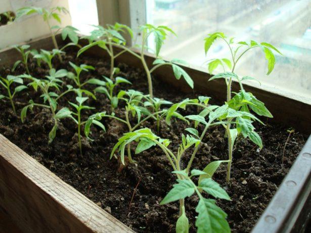 Томат груша чорна: особливості сорту і вирощування