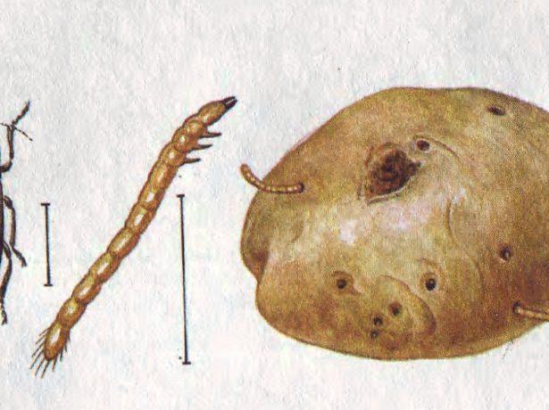 Передпосадковий захист картоплі від шкідників: поради та секрети