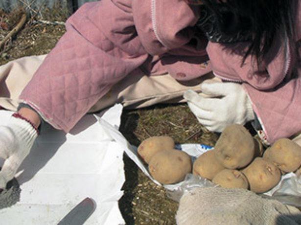 Картопляні клопоти: підготовка до посадки