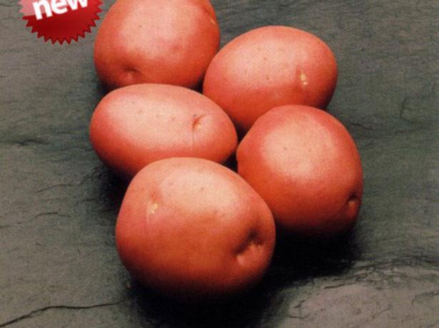Картопля красень: опис універсального сорту