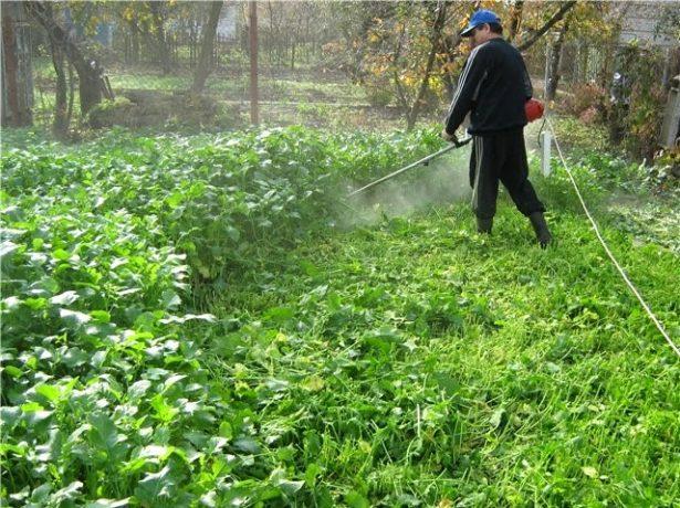 Pomme damour від москви до самих до околиць: способи вирощування помідорів в різних регіонах