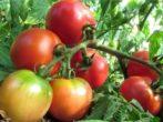 Угорський томат мобіл і народні випробування в росії