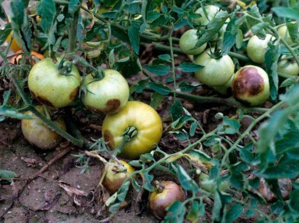 У всіх на вустах: кращі сорти томатів для середньої смуги росії