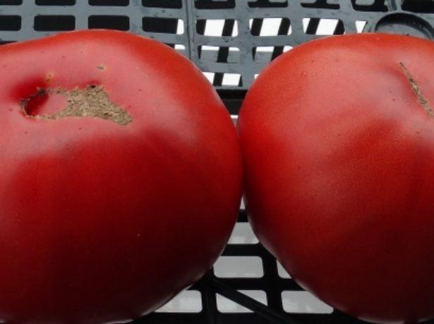 Добрый томат воловье сердце: описание сорта
