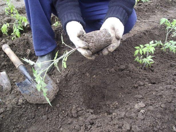 Томат сибірський скоростиглий: опис сорту і секрети вирощування