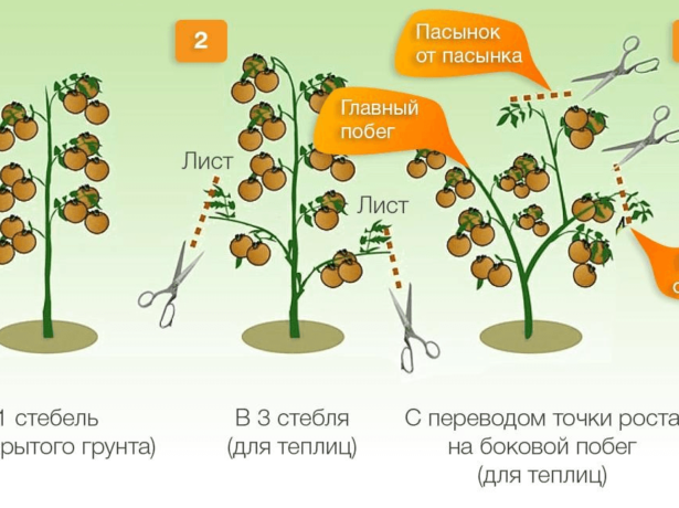 Вітчизняні томати санька, які не підведуть
