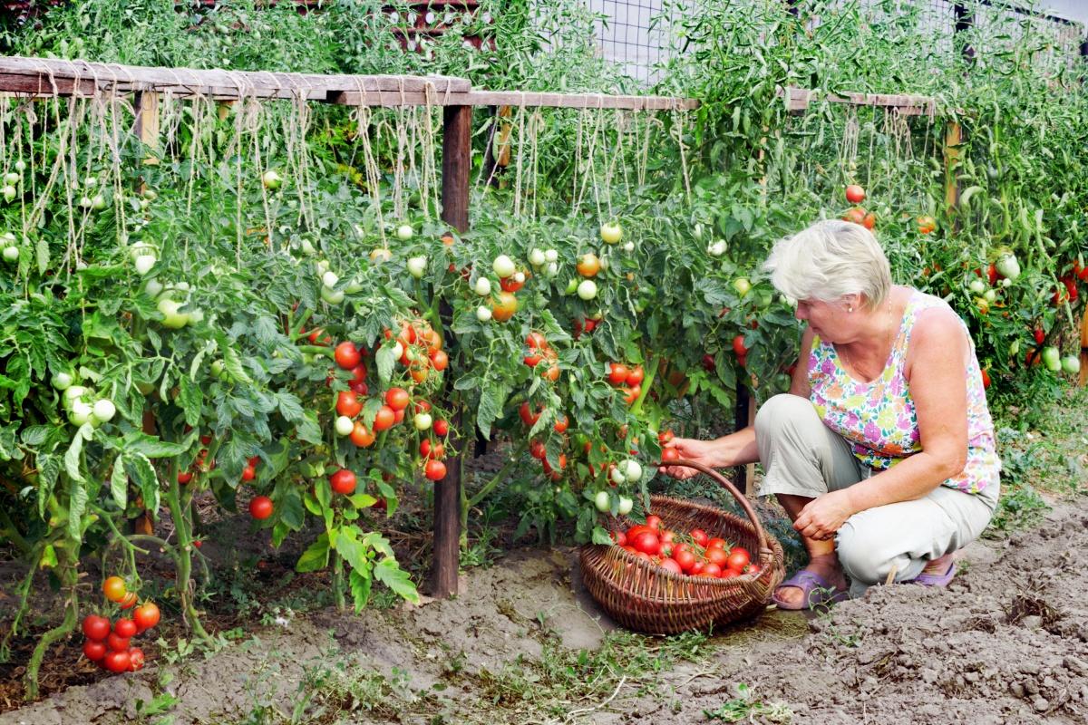 Https://www.u-mama.ru/forum/family/dacha/637848 / Низькорослий томат балконне диво вразив і здивував! відмінний, низькорослий сорт. Добре плодоносить і завязується. Декоративний, можна для забави і радості. Можна ростити на балконі, лоджії, у себе в саду. Смакові якості відмінні, відмінно в заморозку і консервацію — для прикраси в банку. Це міні диво, правда диво! рослина дуже компактна і красива, для томатів підійде невеликий горщик і мінімум землі. Всім рекомендую. Тільки один момент-не всі насіння в продажу відповідають сорту і якості, майте це на увазі. Олена-z, красноярськ Https://otzovik.com/review_6004038.html Томат вишневідний балконне диво... H=20-35 (у відкритому грунті був приблизно 40 см), плоди 20–30г, якщо зробити бордюром, то дуже навіть замінять квіти. Мені дуже навіть сподобалися Женька. Самара Http://dacha.wcb.ru/index.php?showtopic=54472&pid=551921& mode=threaded&start=#entry551921 У мене теж цього літа росли 2 куща балконного дива. Просто купила пакетик від біотехніки (навіщо - не зрозуміла), ну посадила 2 штуки і (не викидати ж) приткнула їх збоку до перців. Не скажу, що були низькі (десь см 50), але ось в ширину пролунали-мама дорога,замучилася їх піднімати, а вже усипані були, забувала їх оббирати, так вони прямо червоненькими обсипалися. Барбі. Дача в підмосковї Http://dacha.wcb.ru/index.php?showtopic=54472&pid=551944& mode=threaded&show=&st=#entry551944 Я вирощувала балконне диво будинку. Теж не вразив. Смак дійсно звичайний. Tania 711. Петрозаводськ Http://dacha.wcb.ru/index.php?showtopic=54472&pid=563806&mode=threaded& start=#entry563806