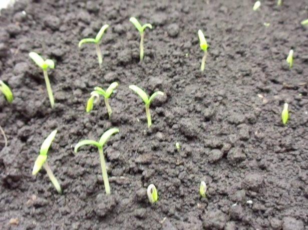 Способи посадки томатів на розсаду і тонкощі догляду за нею