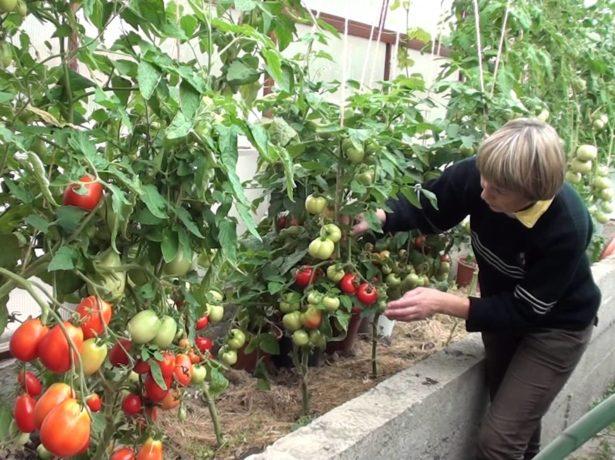 Томати для ленінградської області: відповідні сорти і особливості вирощування
