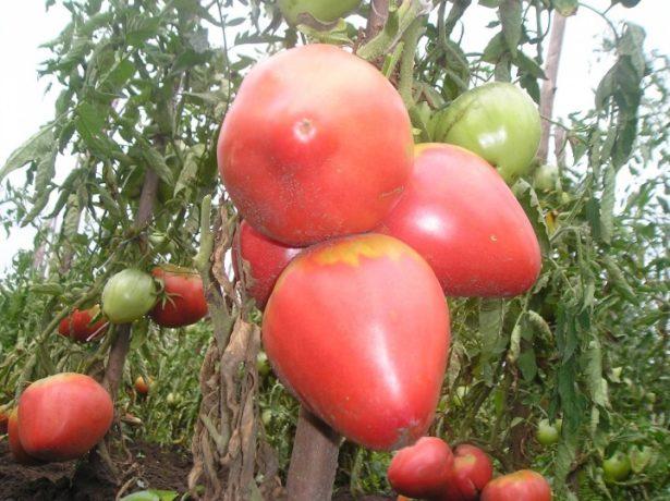 Рожевий мед-солодкий сорт томатів