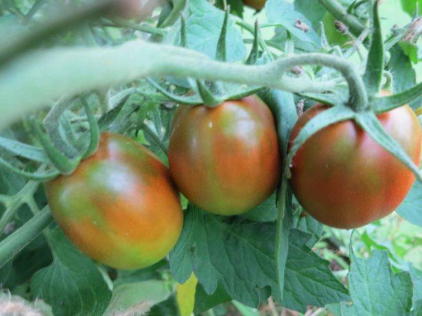 Оригінальний томат чорний мавр