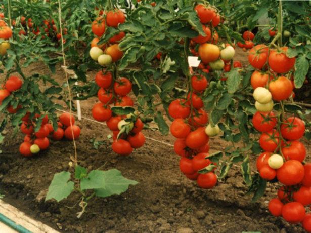 Пінк буш-ранні рожеві помідори